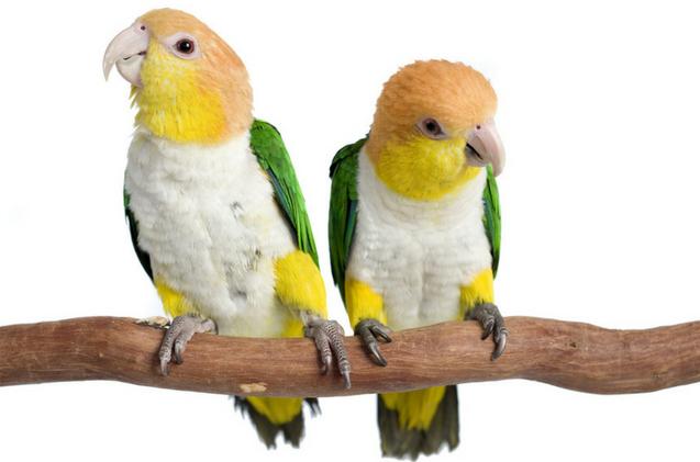 Блохи у попугаев волнистых
