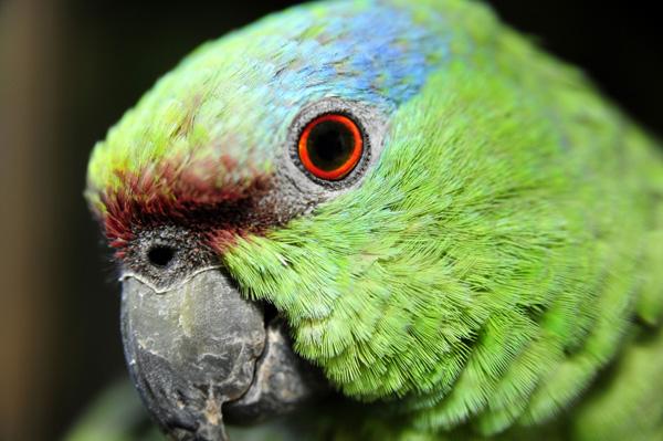 Болезни глаз у попугаев корелла
