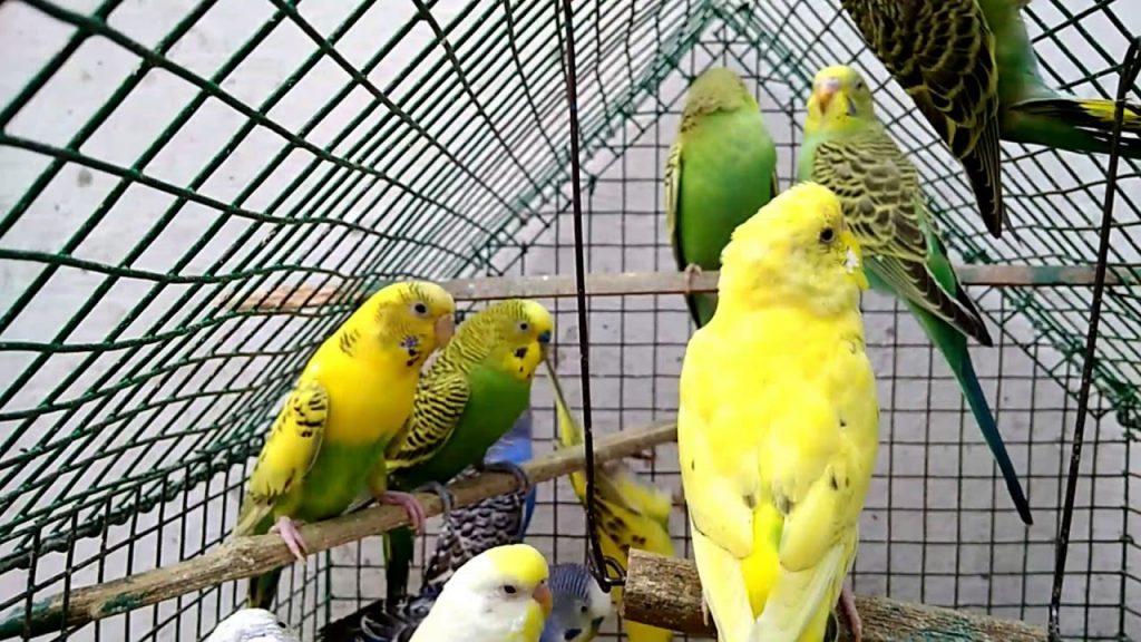 Перьевой клещ у попугаев