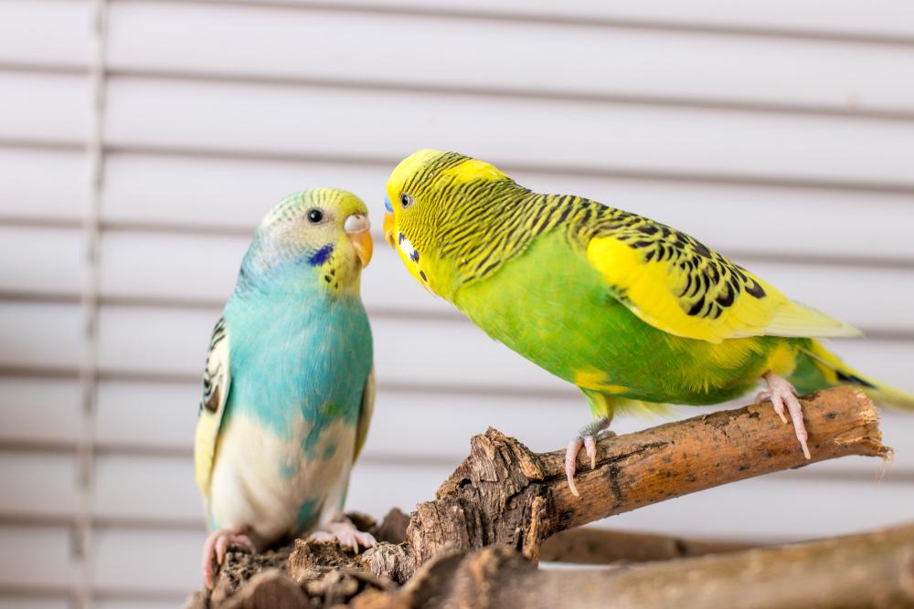 У попугая опухоль внизу живота