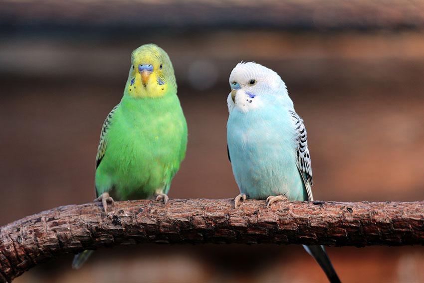 У попугая посинела лапка