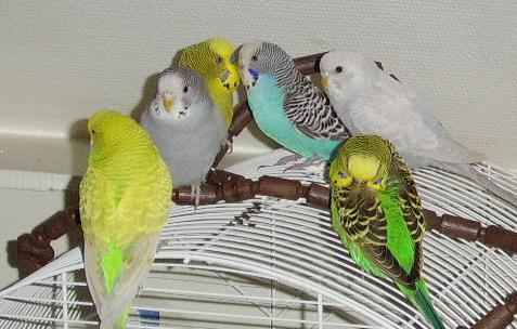 Сколько лет живут волнистые попугаи в домашних условиях