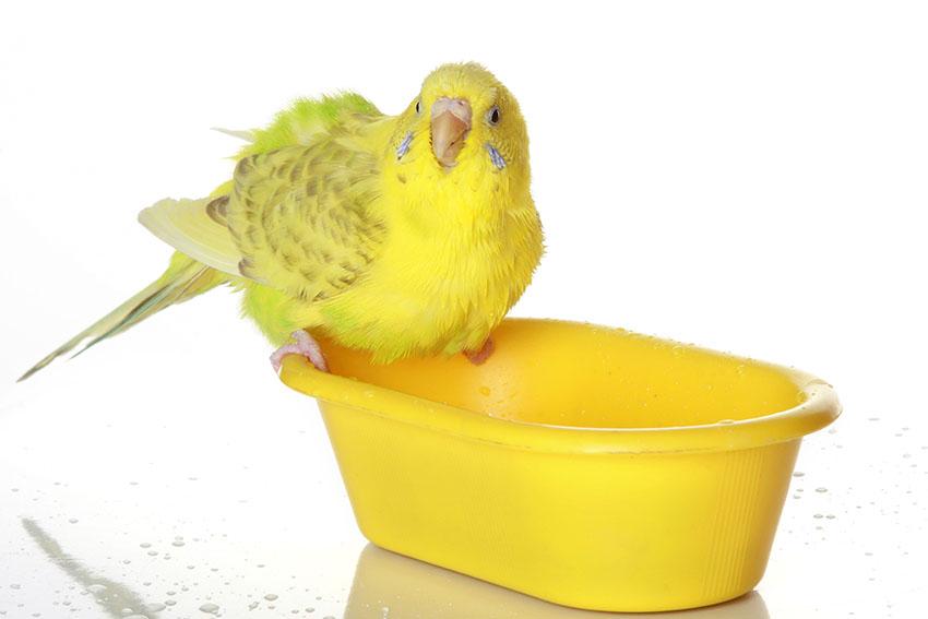Нужен ли песок попугаю