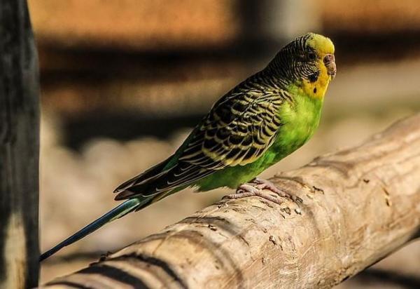 Сколько волнистый попугай может прожить без еды