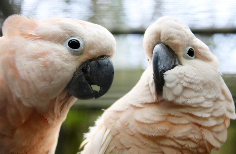 Сколько дней высиживают яйца попугаи Корелла