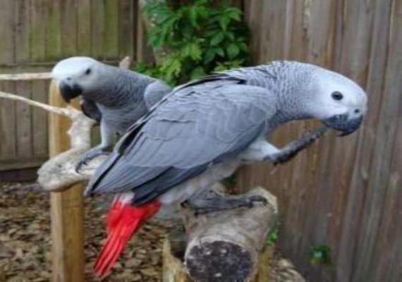 Сколько дней высиживают яйца попугаи Жако