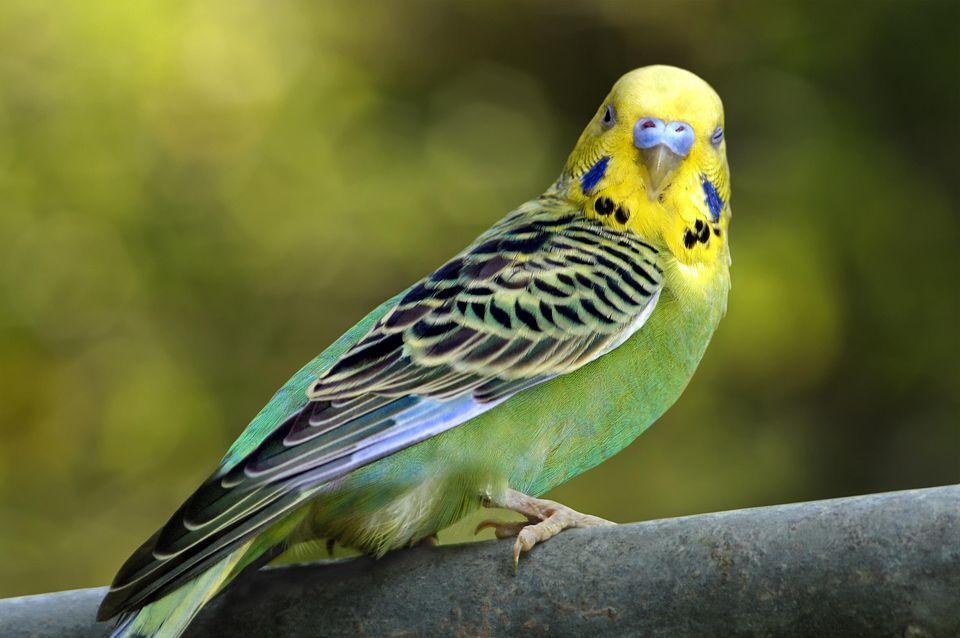 Сколько живут домашние попугаи