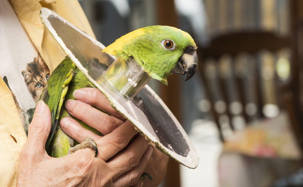 Сотрясение мозга у волнистого попугая