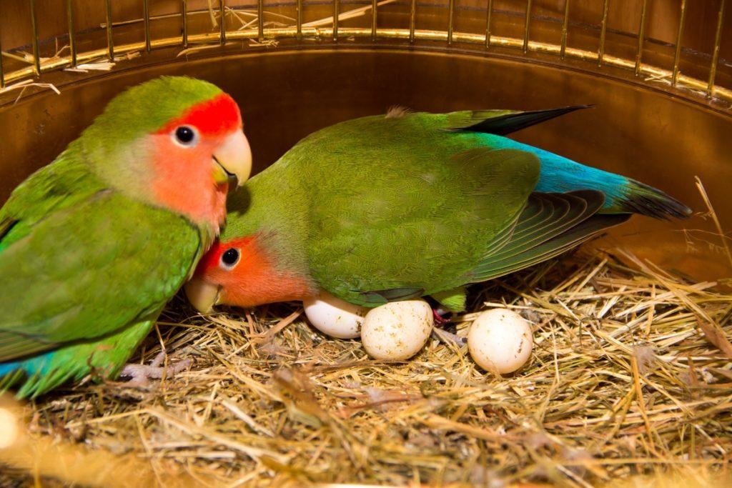 Попугаи: содержание в домашних условиях