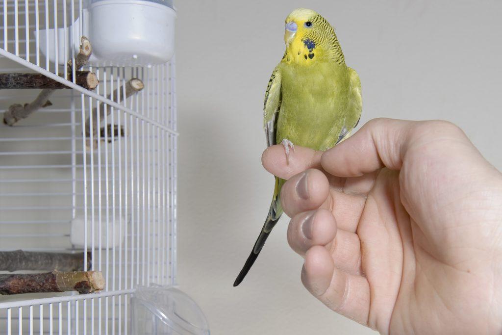 Как найти улетевшего волнистого попугая