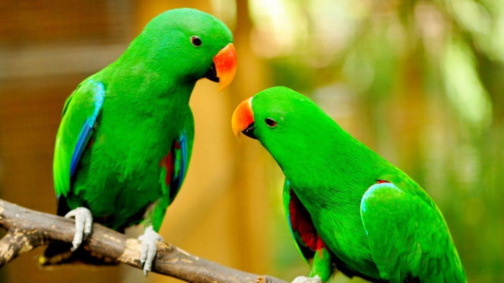 Волнистый попугай глаза болезни