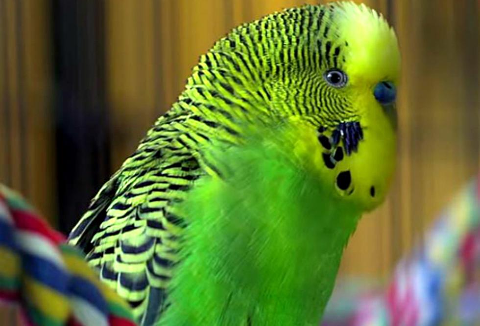 Попугай открывает клюв и вытягивает шею