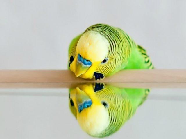 Можно попугаю зеркало