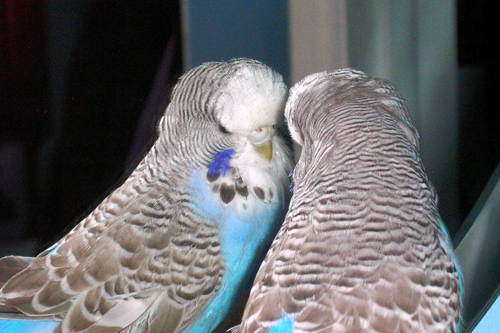 Вешать ли попугаю зеркало