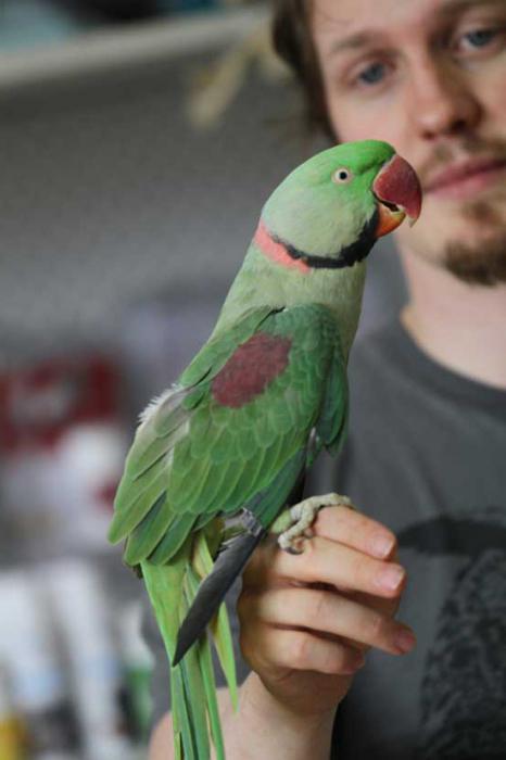 Александрийский попугай фото