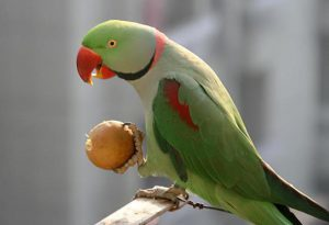 Говорящий александрийский попугай