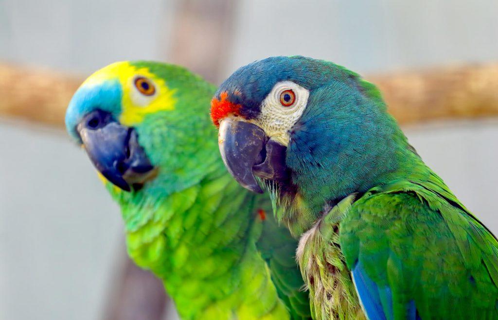 Как подобрать пару ожереловому попугаю