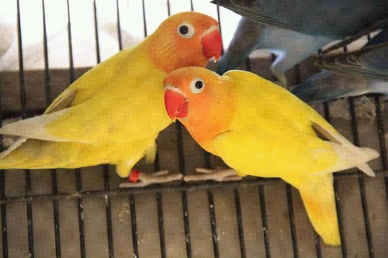 Красные глаза у волнистого попугая