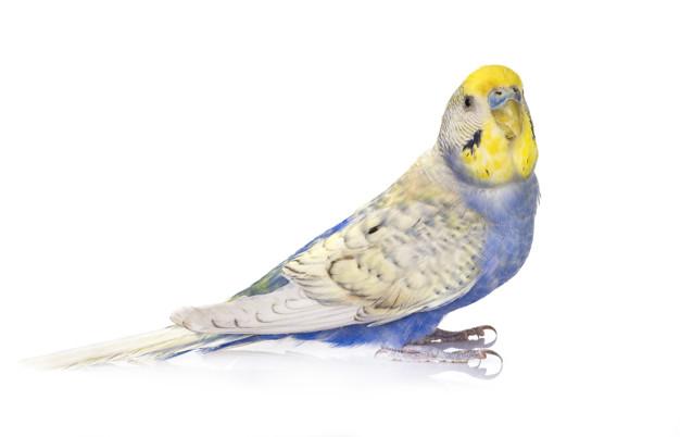 Музыка для волнистых попугаев
