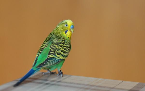 Волнистый попугай открывает клюв