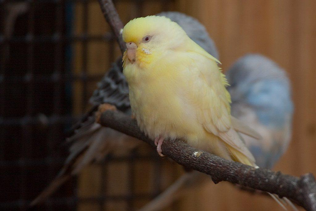 Почему у попугая синие лапки