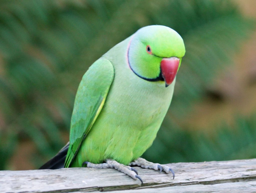 Почему волнистый попугай разговаривает