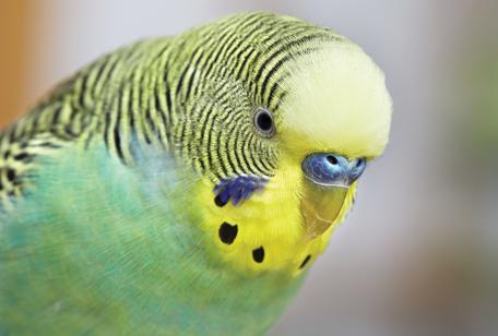 Попугай скрипит клювом перед сном