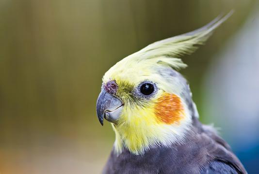 Болезни волнистых попугаев