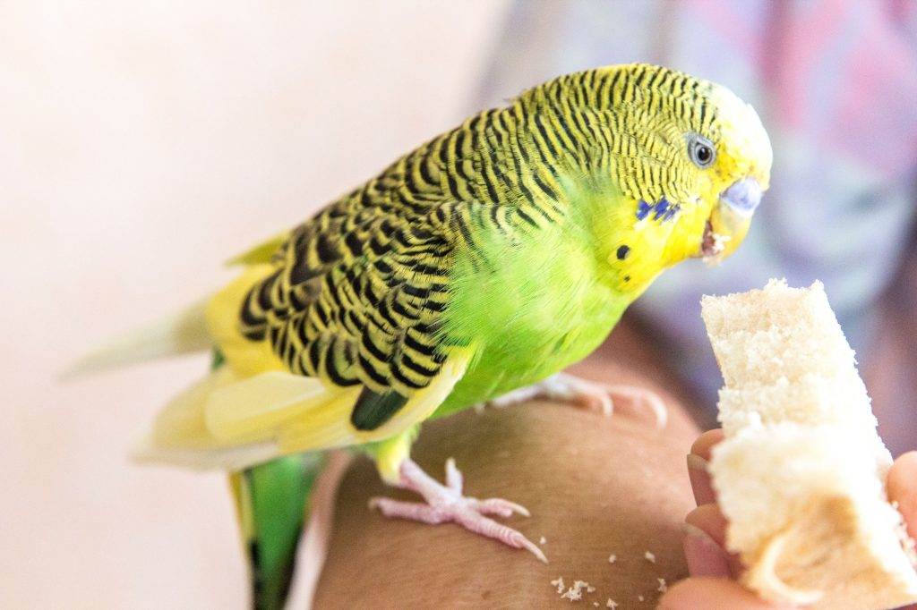 Можно ли волнистым попугаям хлеб