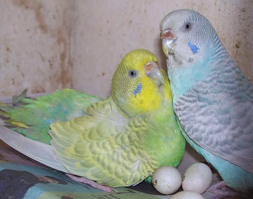 Волнистый попугай уход и содержание размножение