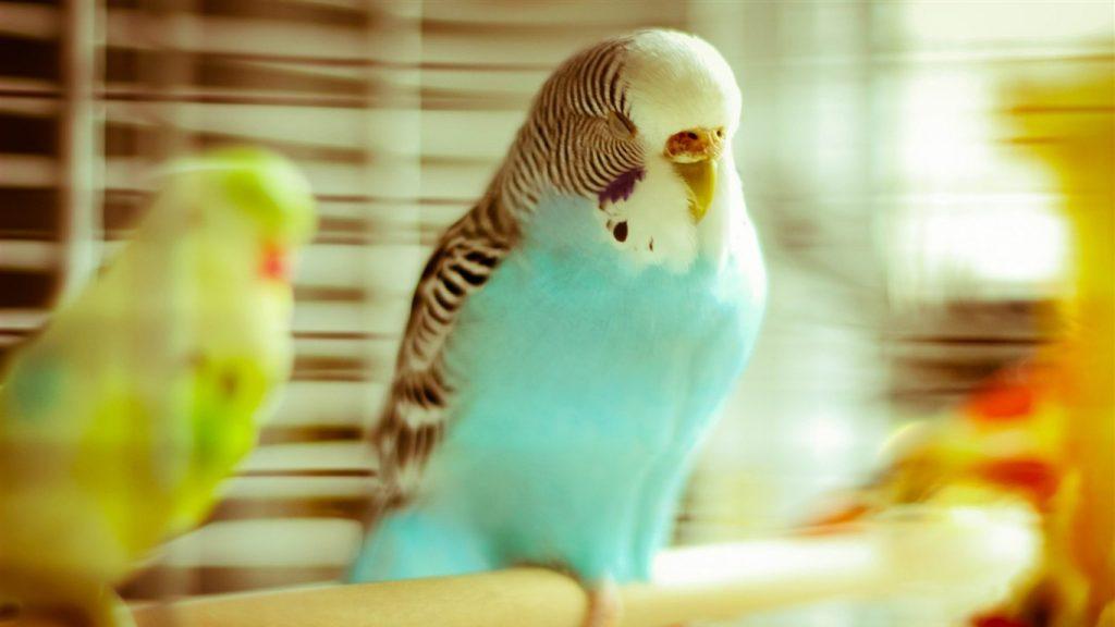 Сколько должен спать попугай волнистый