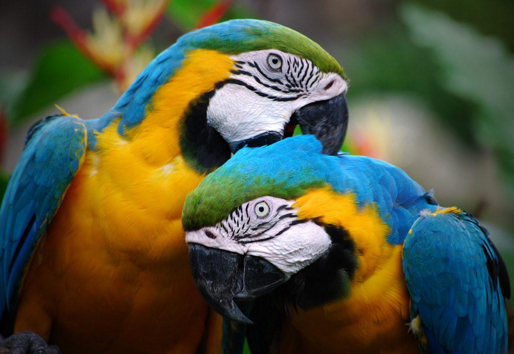 Почему попугаи разговаривают человеческим голосом
